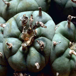 Photo Of Peyote